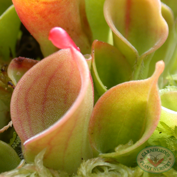 Helimaphora minor
