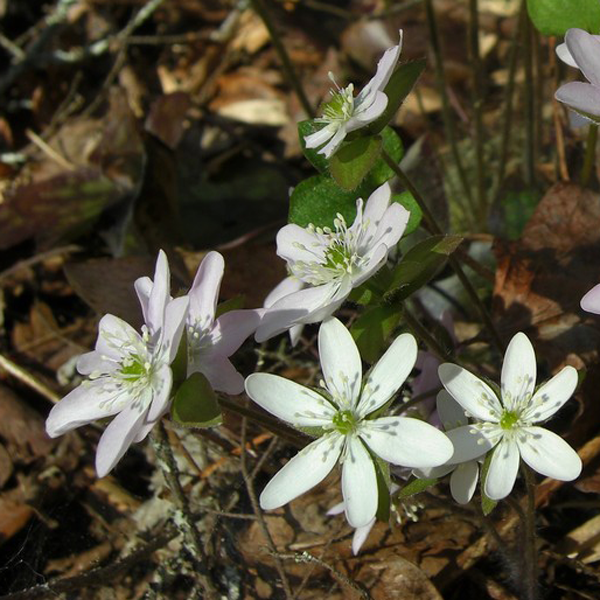 Hepatica acutiloba, from Wikicommons