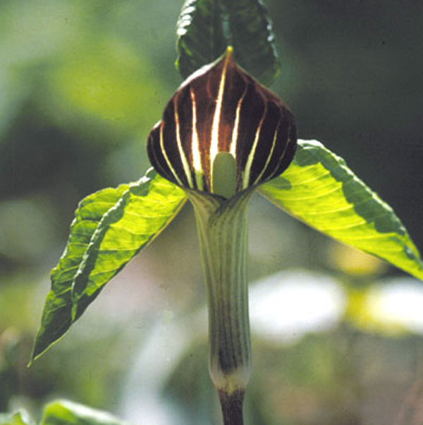 Jack in the Pulpit, wikicommons