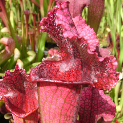 Sarracenia x Purple Haze