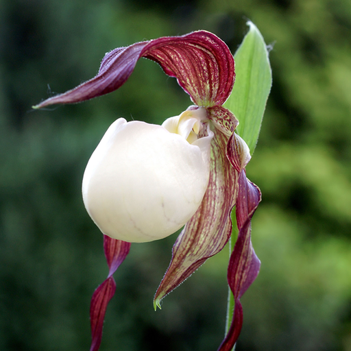 Cypripedium kentuckiense, from wikicommons, Orchi