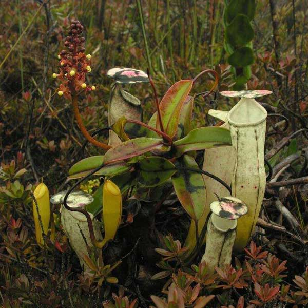 Nepenthes alba, image from wikicommons, Stewart McPherson