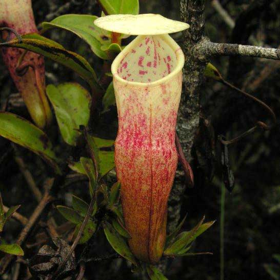 Nepenthes alba, upper pitcher, image from wikicommons, Stewart McPherson