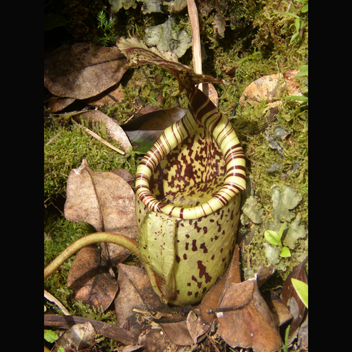 Nepenthes burbidgeae Wikicommons