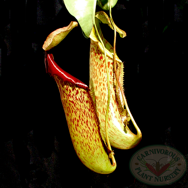 Nepenthes x Gentle