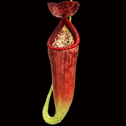 Nepenthes glandulifera