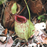 Nepenthes x hookeriana, Wikicommons