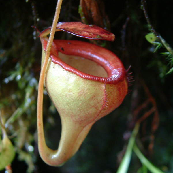 Nepenthes jamban Wikicommons