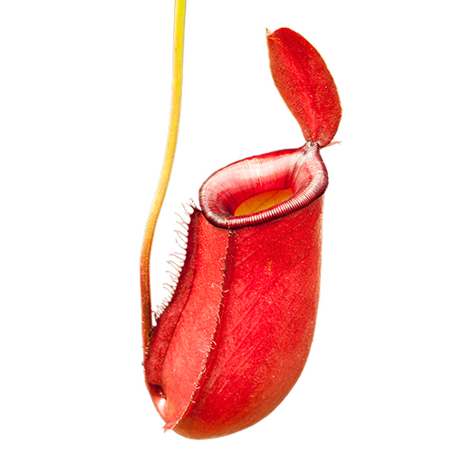 Nepenthes x Lady Luck