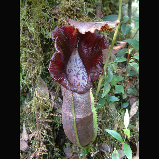 Nepenthes naga wikicommons