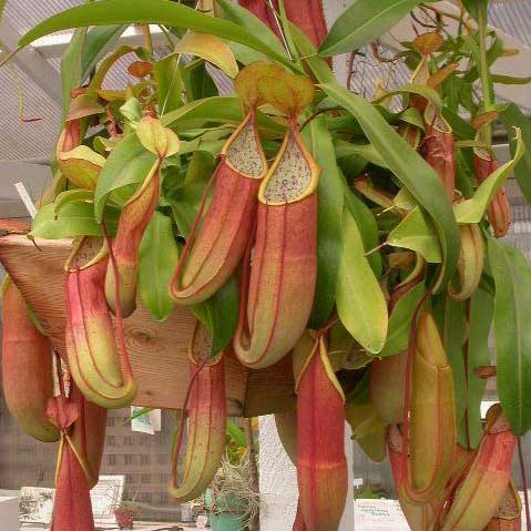Nepenthes sanguinea