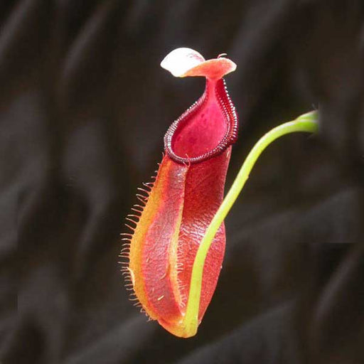 Nepenthes singalana