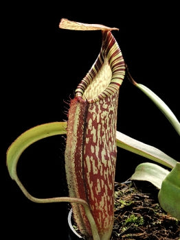 Nepenthes spectabilis