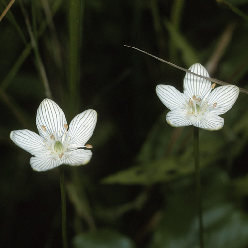 Grass of Parnassus, from Wikicommons