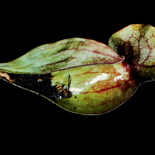 Pitcher Plant Dissection 1