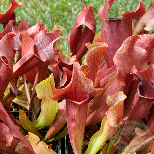 Sarracenia x Red Apache