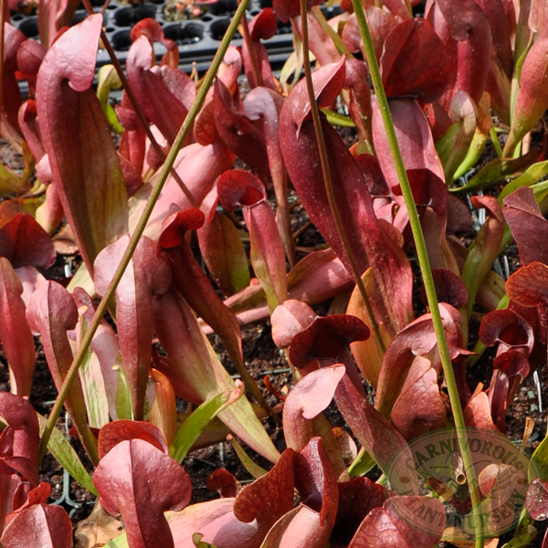 Sarracenia x catesbaei - Red
