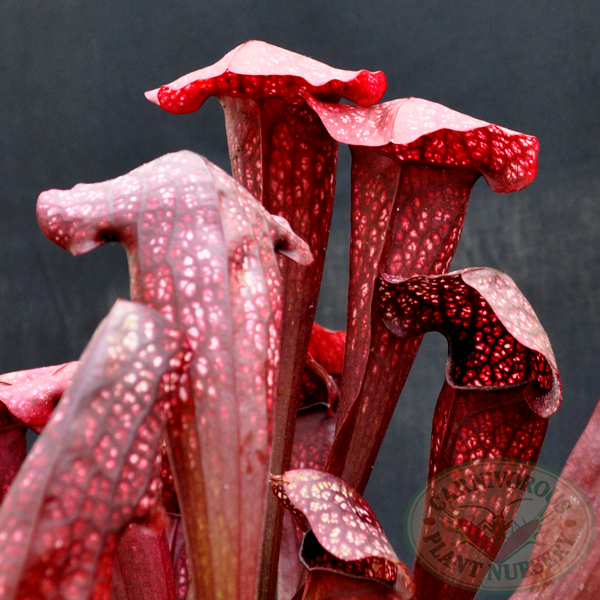 Sarracenia x Red Dixie
