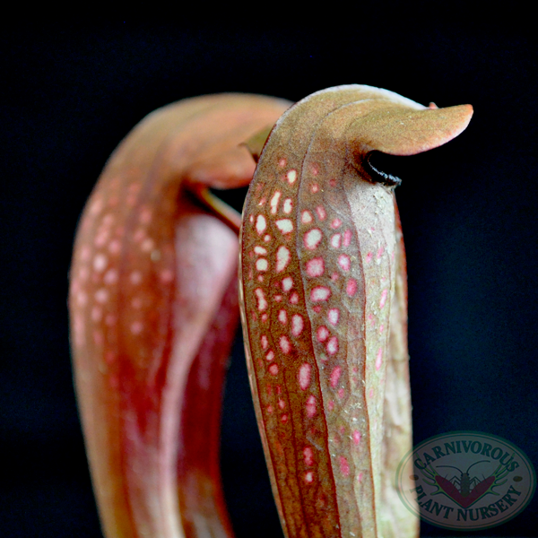 Sarracenia x Bug Bat