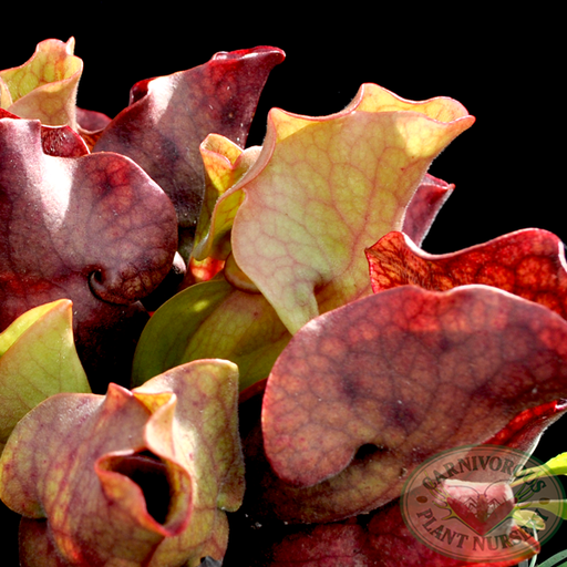 Sarracenia x Fat Chance