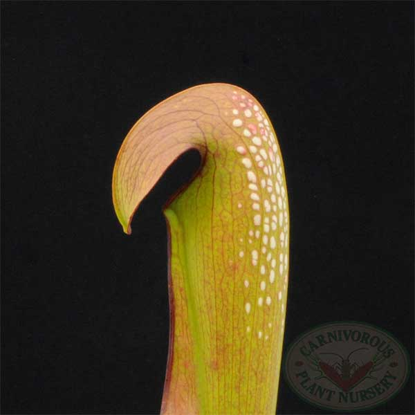 Sarracenia minor Okefenokee Giant