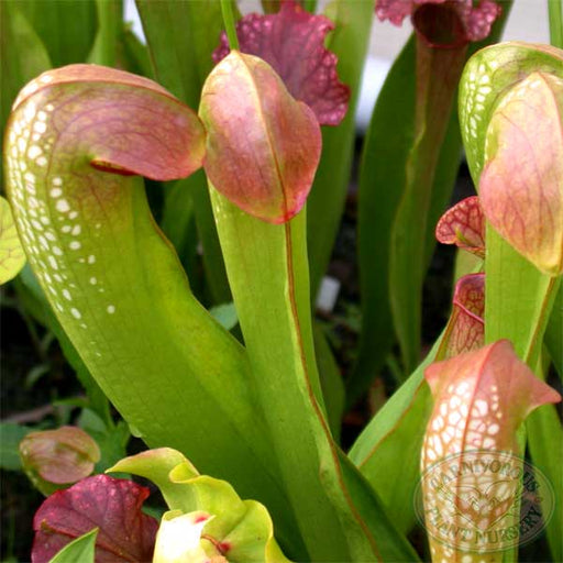 Sarracenia minor okefenokeensis