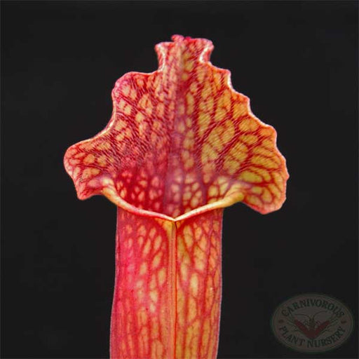 Sarracenia x mitchelliana