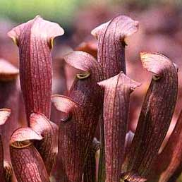 Sarracenia x Red Bug