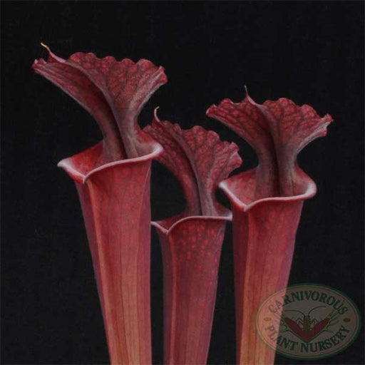 Sarracenia x Red Sumatra