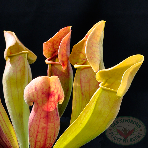 Sarracenia x Yellow Jacket
