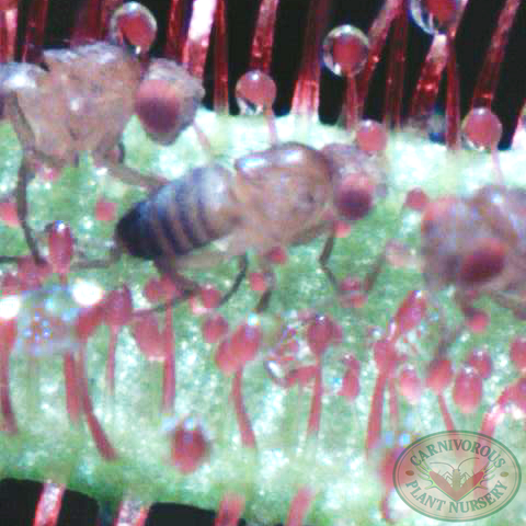 Fruitflies on Sundew