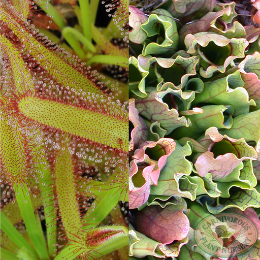 Sundews versus Pitcher Plants