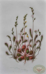 Three Varieties of Sundews from Anne Pratt, The Flowering Plants, Grasses, Sedges and Ferns of Great Britain, Volume 1, Plate 35, 1855.