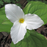 Great White Trillium, from Wikicommons