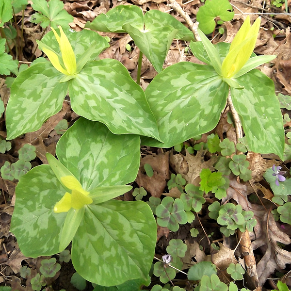 Yellow Trillium, from Wikicommons