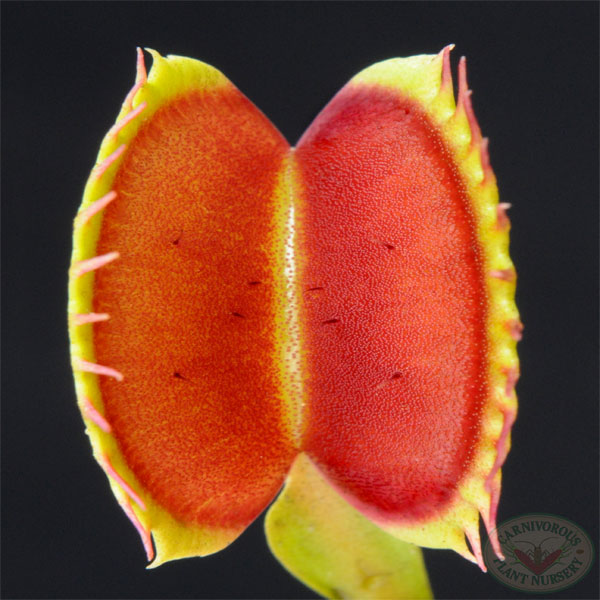 Venus Flytrap Big Mouth