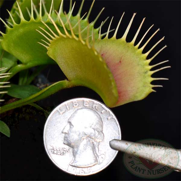 Venus Flytrap - Big Vigorous