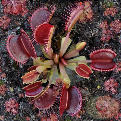 Venus Flytrap - Typical