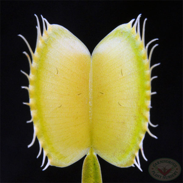 Venus Flytrap - Yellow