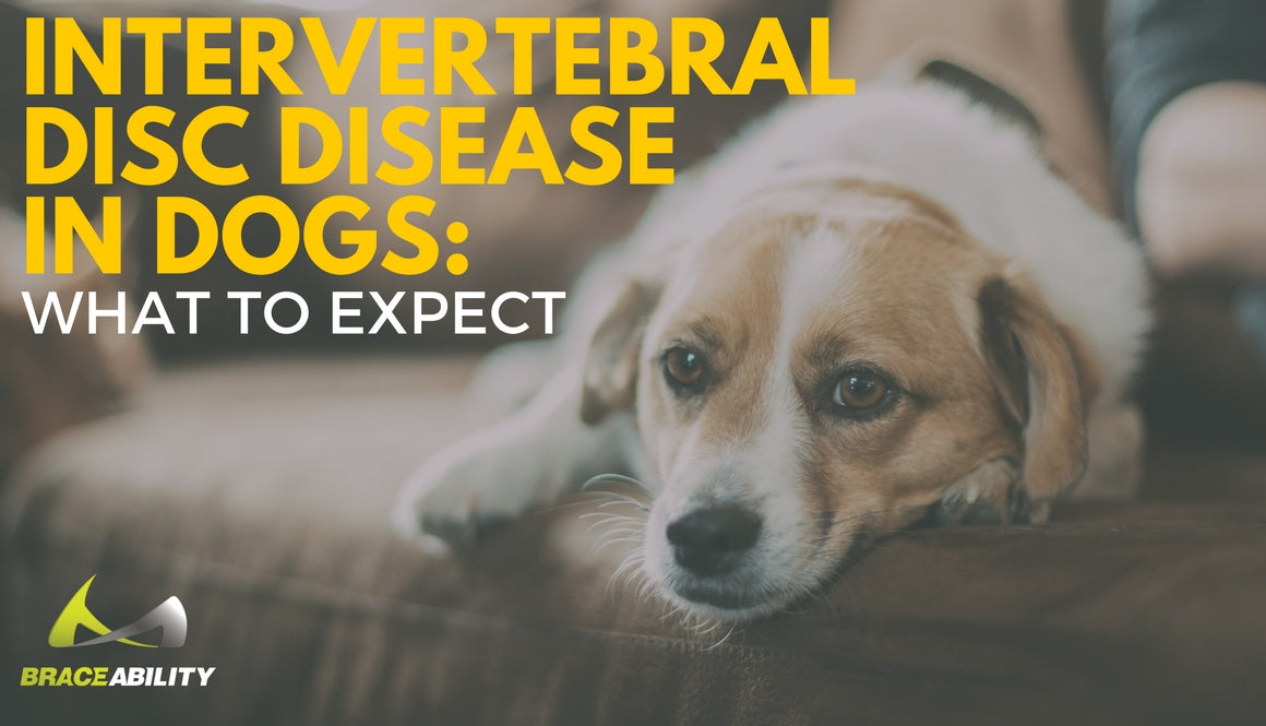 Stupendous Intervertebral Disc Disease Ivdd In Dogs What To Expect Bralicious Painted Fabric Chair Ideas Braliciousco
