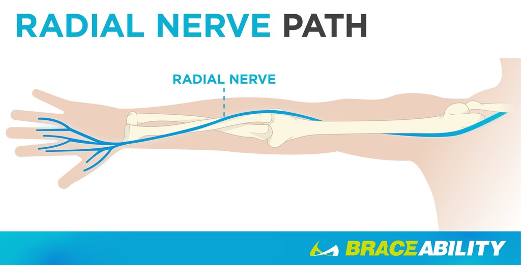 The radial nerve runs from the shoulder, behind the elbow, then into the thumb, ring, and middle finger.