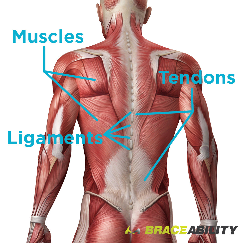 Diagram Of Muscles In Your Back Auto Electrical Wiring Diagram