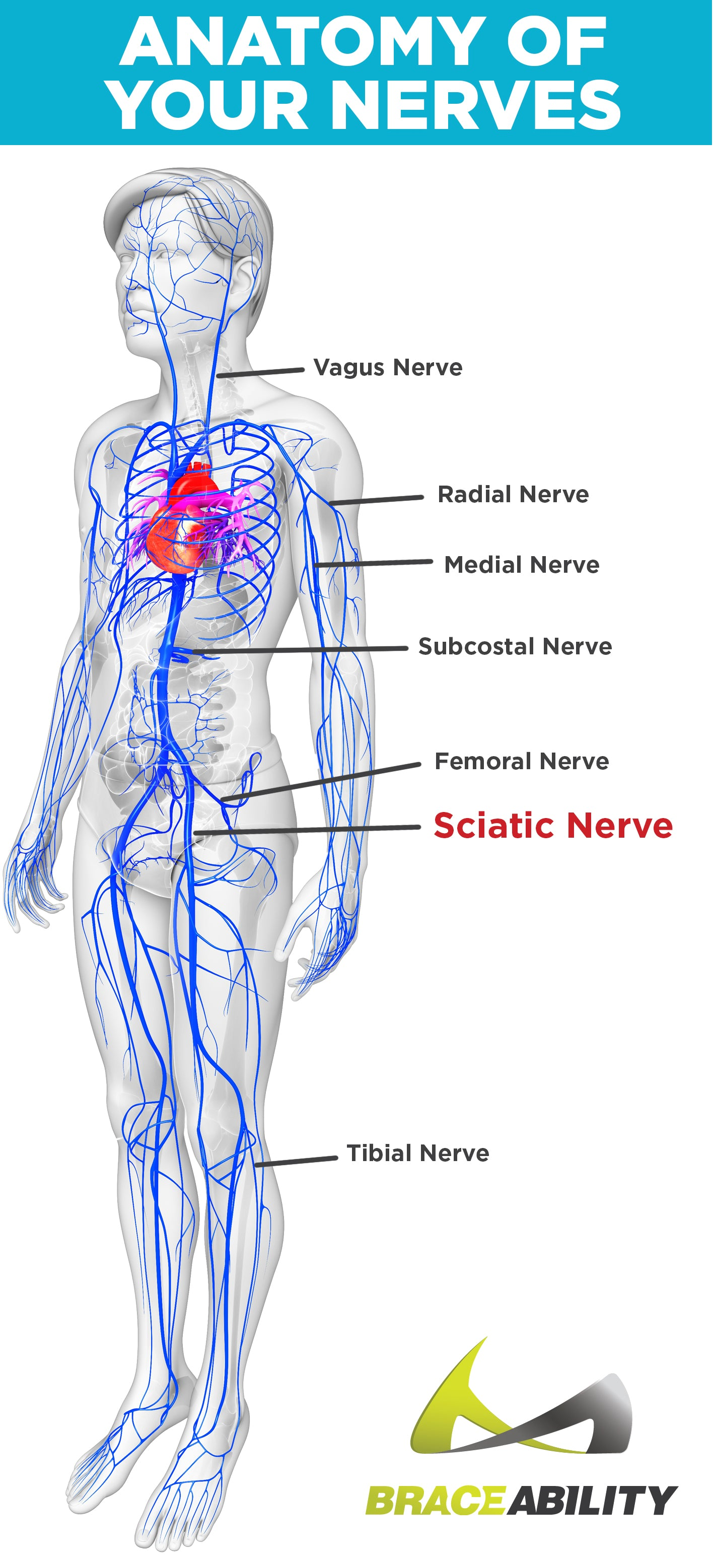 sciatica \u0026 pinched nerve pain symptoms, causes \u0026 lower back treatment Nerve Route Patterns Referred Pain nerves in the the human body labeled