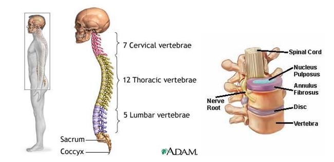 learn about the anatomy of the back and spine