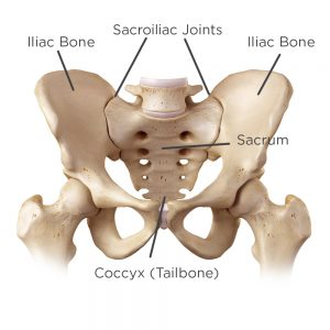 diagram of the hip anatomy labeled with the sacroiliac joints and coccyx