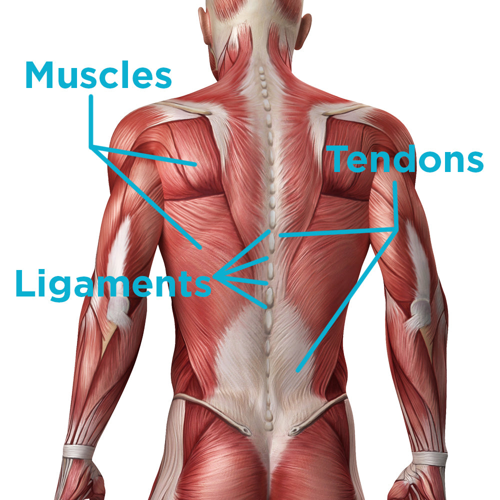 See the difference between muscles, ligaments and tendons and how they control your body
