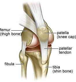 kneecap location compared to thigh and shin anatomy