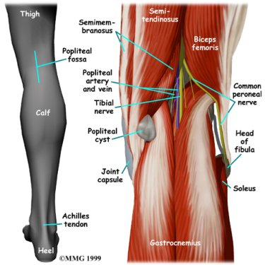 Pain behind knee why it hurts in back of or under your kneecap leg anatomy and pain behind knee from popliteal cysts or bakers cysts ccuart Gallery