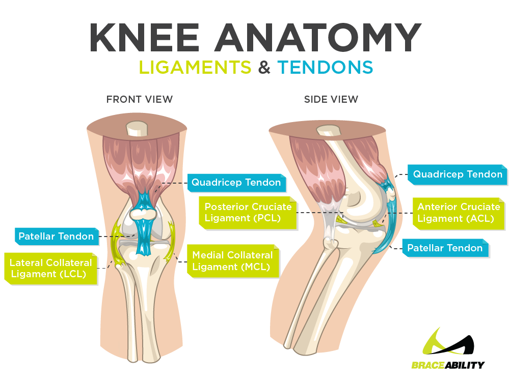 Learn about inner knee pain and knee anatomy, ligaments, and tendons