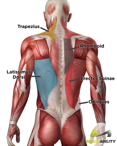 Torn pulled strained back muscles what you didnt know anatomy of the different muscles in your back and what they do ccuart
